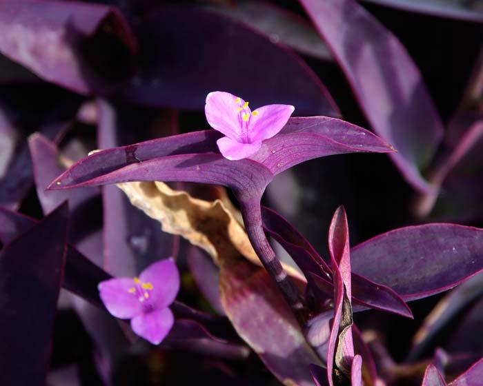 Tradescanthia Pallida
