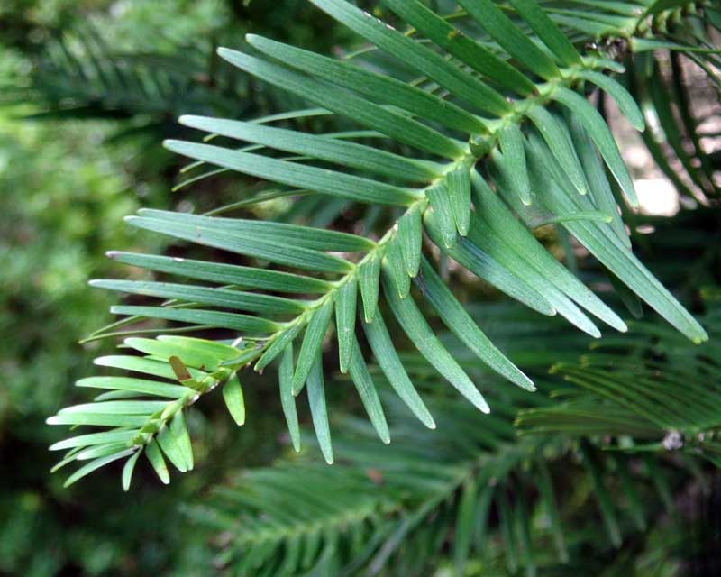 Wollemia nobilis, The Wollemi Pine