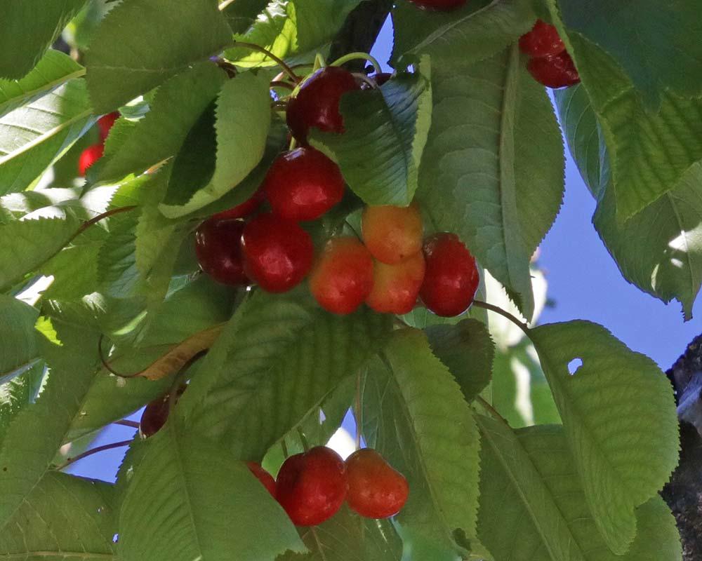 Prunus avium - Sweet Cherry