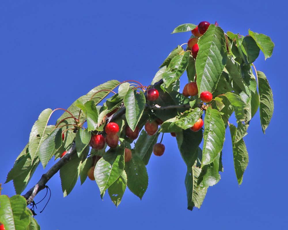 Prunus avium -The Wild or Sweet Cherry