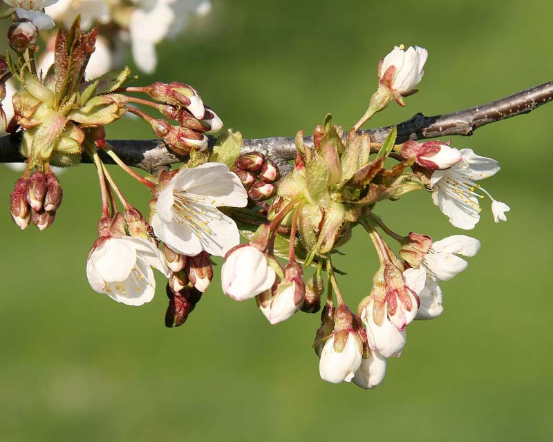 Prunus avium -The Wild or Sweet Cherry has clusters of white cup shaped flowers - photo Bohringer Friedrich