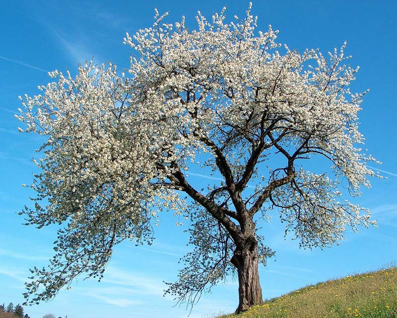 Prunus avium - Wild or Sweet Cherry - in spring the trees are covered with white blossom Photo Benjamin Gimmel