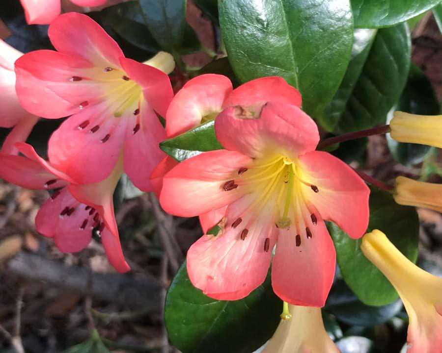 Rhododendron vireya 'Kisses'