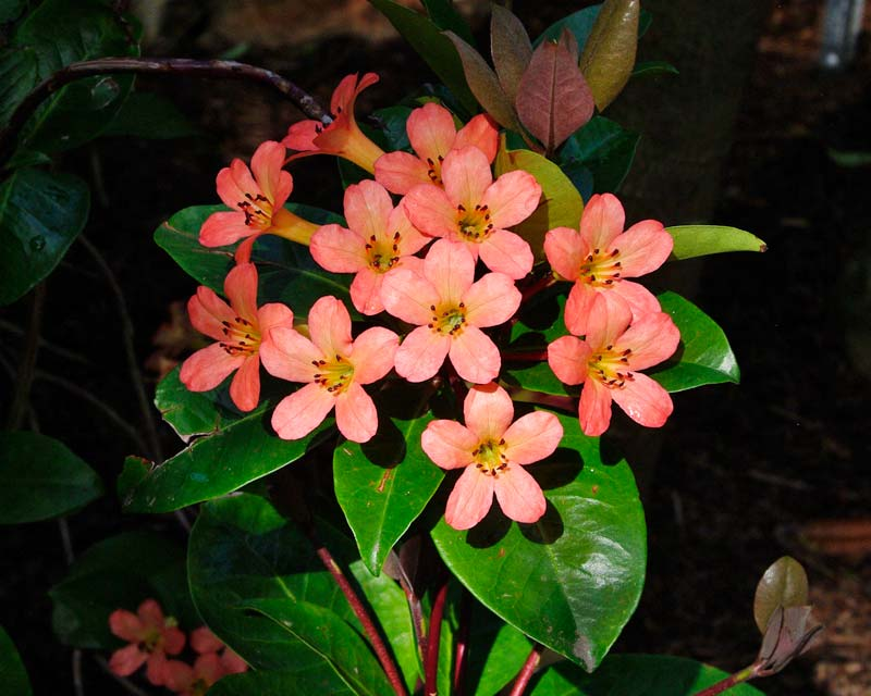 Rhododendron Vireya type - Pacific Shower Flowers are apricot to pink in colour