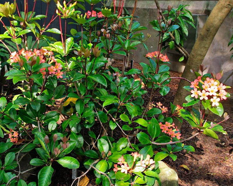 Rhododendron Vireya type - Pacific Shower