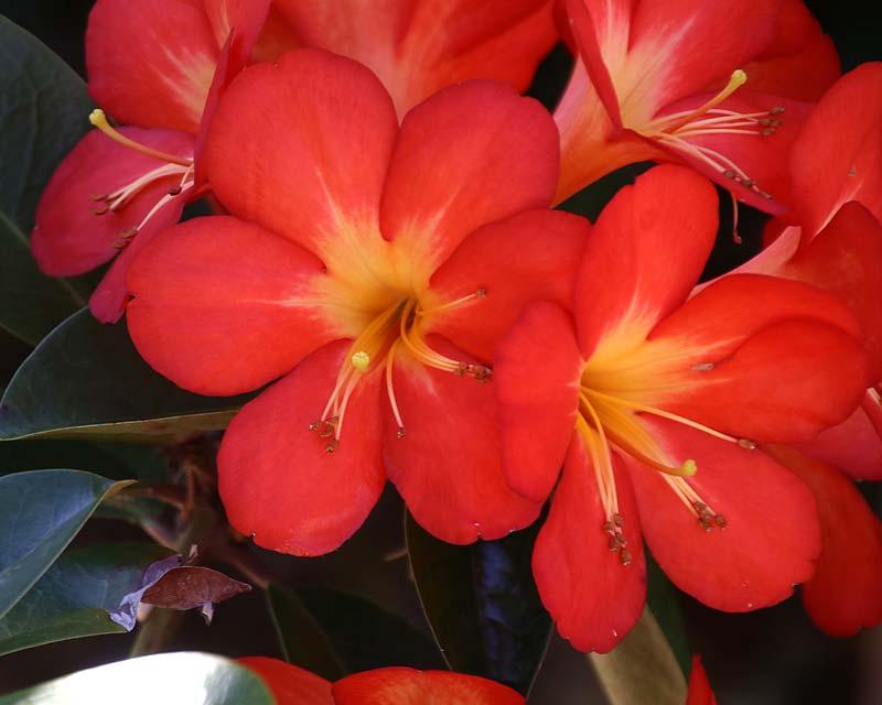 Rhododendron vireya 'Uluru'