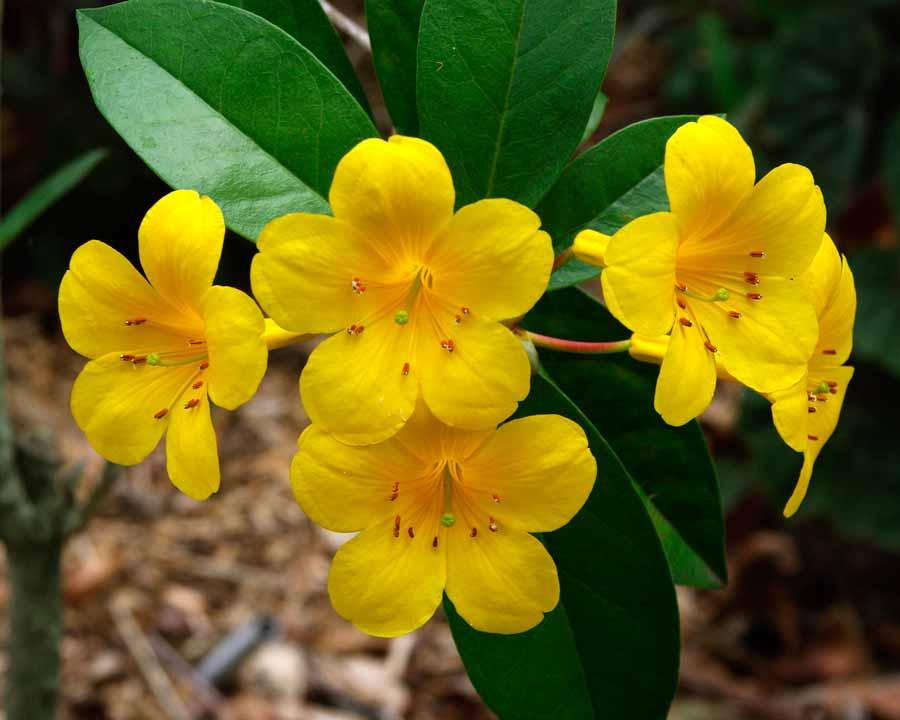 Rhododendron vireya 'Laetum' - yellow trumpet shaped flowers