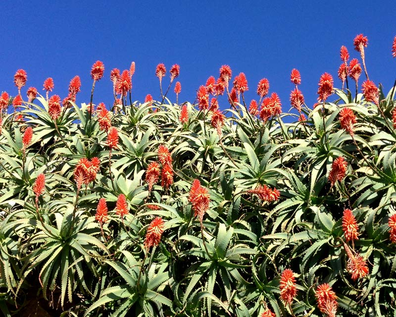 Aloe arborescens great contrast against the sky