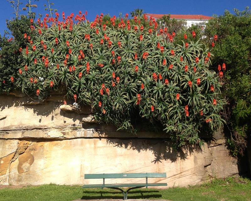 Aloe arborescens can be spectacular cascading over rocks