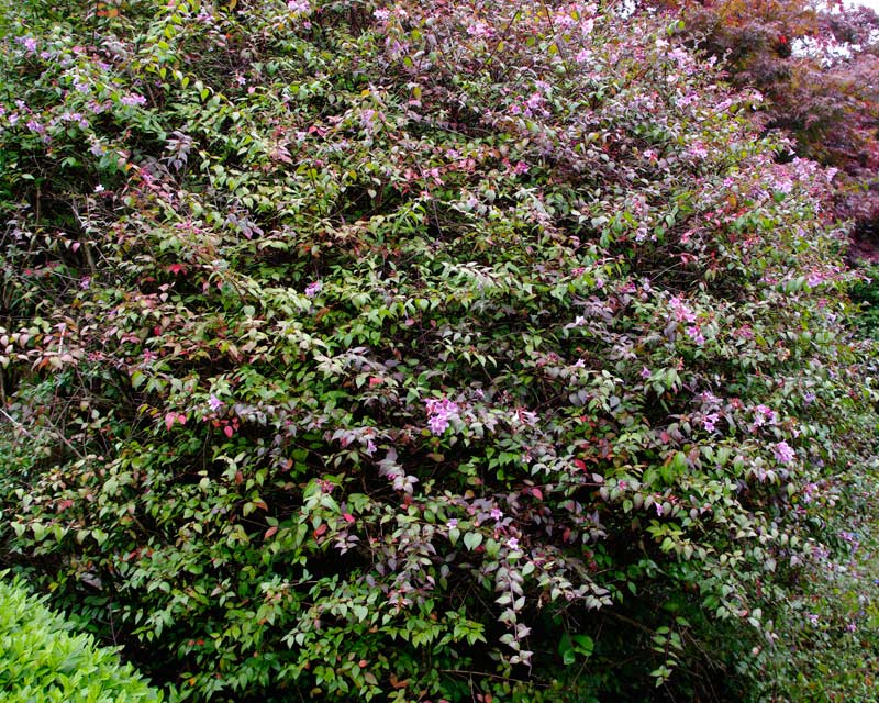 Abelia Edward Groucher, one of the hybrid parents of x Lavender Mist and looks very similar