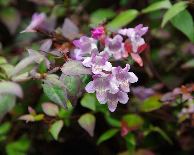 Abelia x Lavender Mist