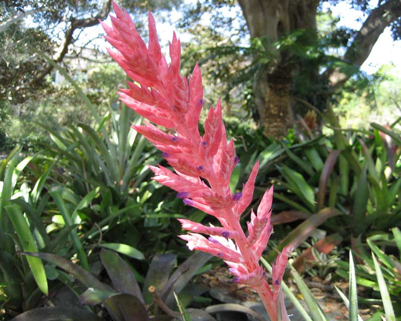 Aechmea distichantha flower