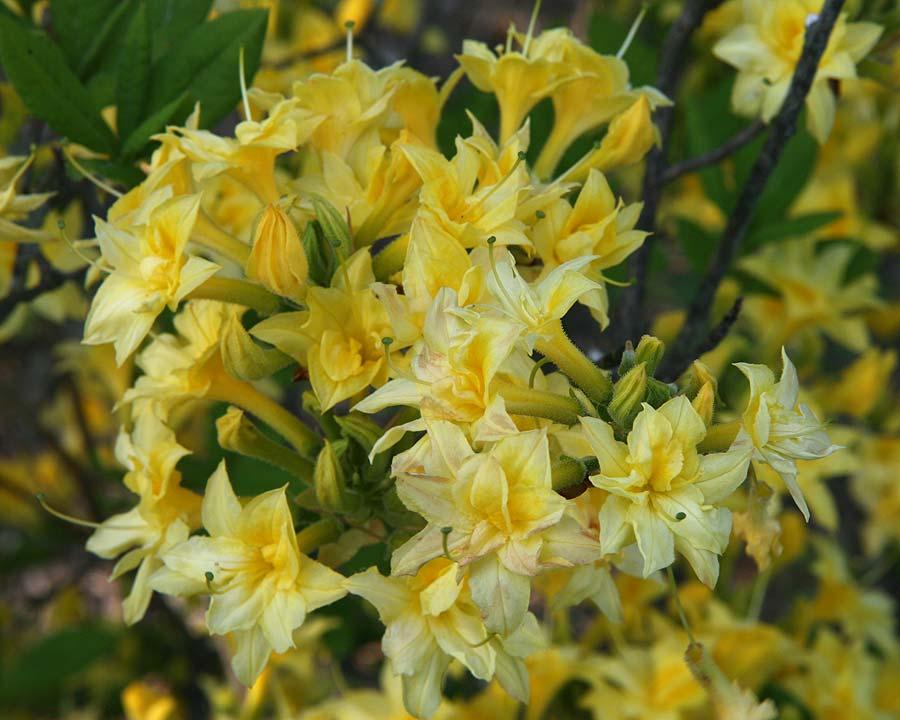 Rhododendron Ghent Hybrid Azalea - photo David Strang