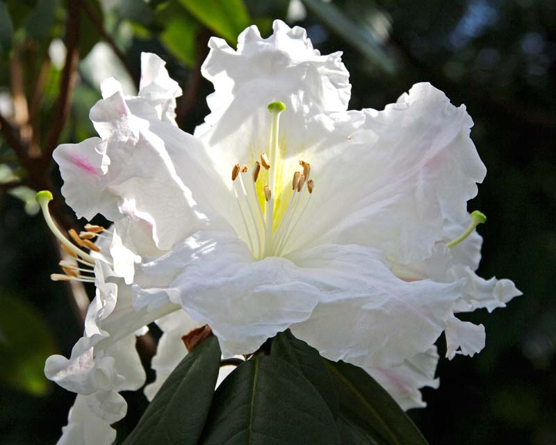 Rhododendron Ciliicalyx -  trusses of large white lightly fragrant funnel shaped flowers. Grows quickly up to 3m