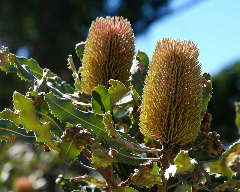 Banksia menziesii, still maturing, not quite distinctly pink yet.