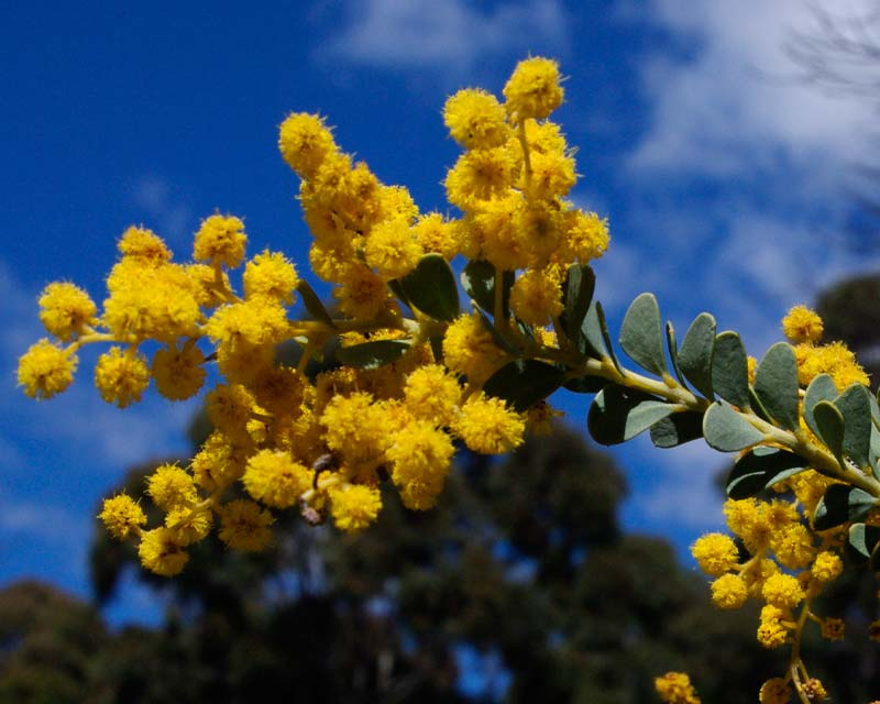 Acacia cultriformis - has fluffy yellow flowers in spring