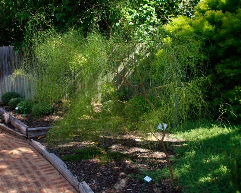 Acacia merinthophora