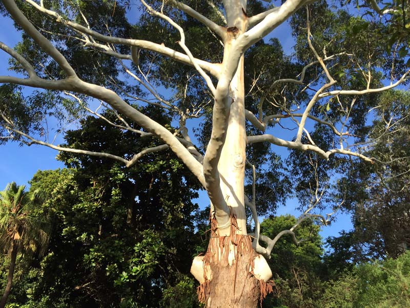 Eucalyptus grandis - Flooded Gum lower trunk rough bark, upper trunk is smooth silver grey where bark has peeled away.