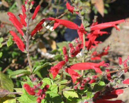Salvia elegans has bright red flowers and calyces