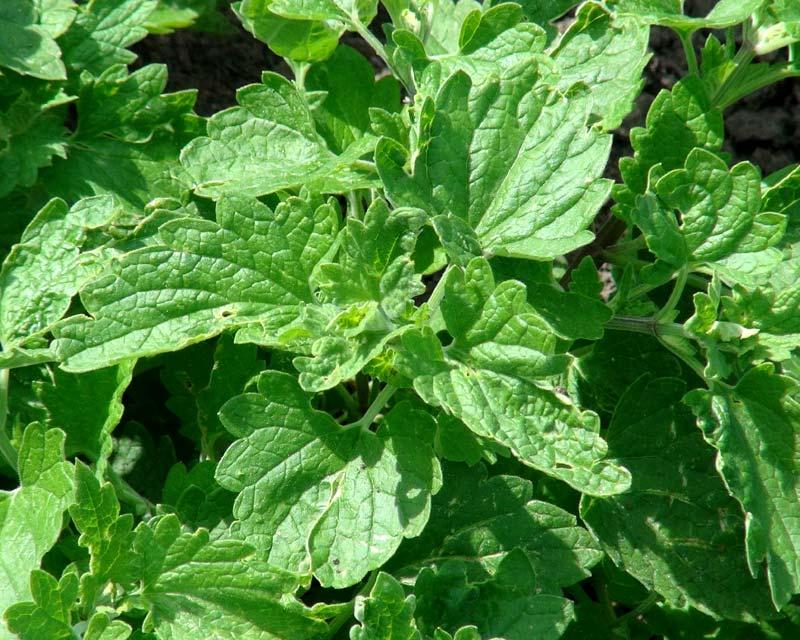 Nepeta cataria var Citriodora - has lemon scented leaves