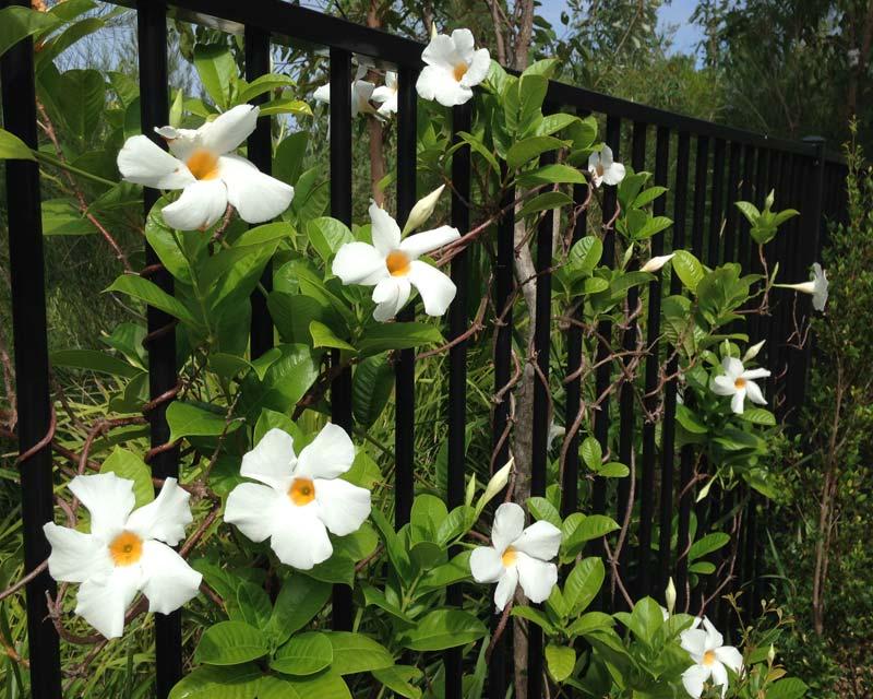 Mandevilla Sun Parasol - Giant White, need good support