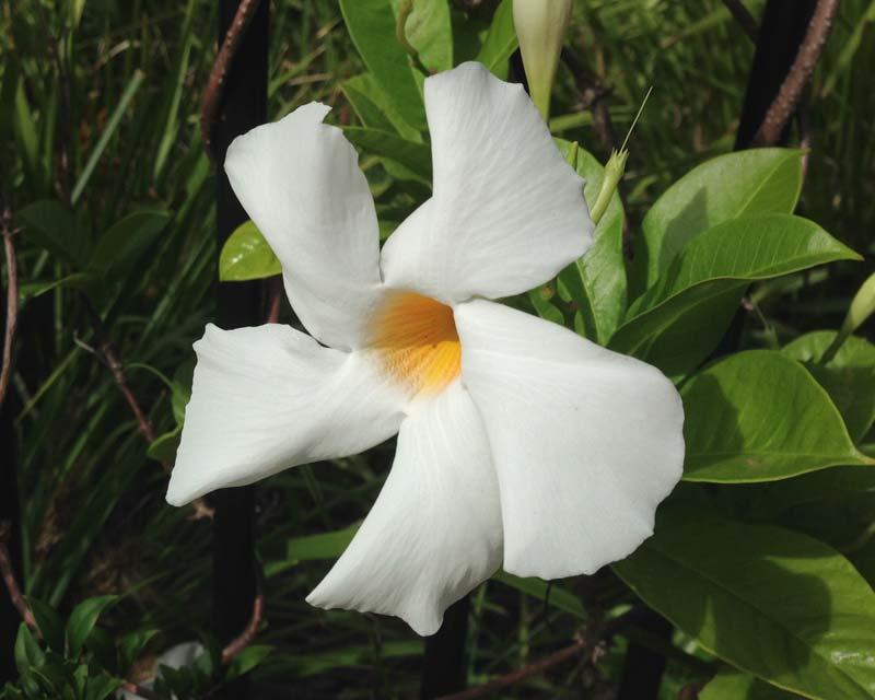 Mandevilla Sun Parasol - this is Giant White