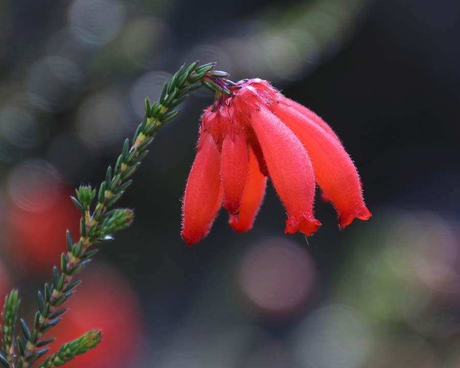 Erica cerinthoides