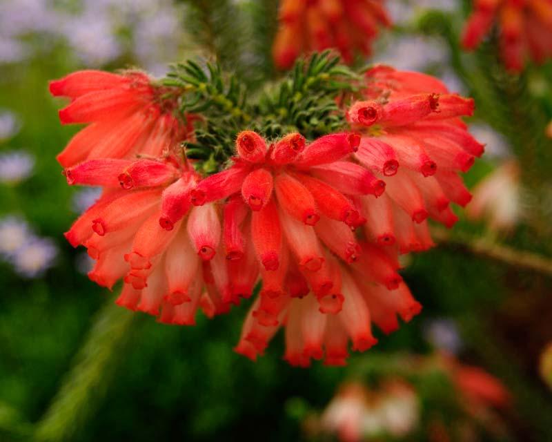 Erica cerinthoides, Scarlet Heath