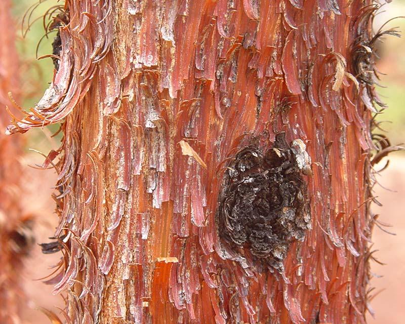 Acacia cyperophylla