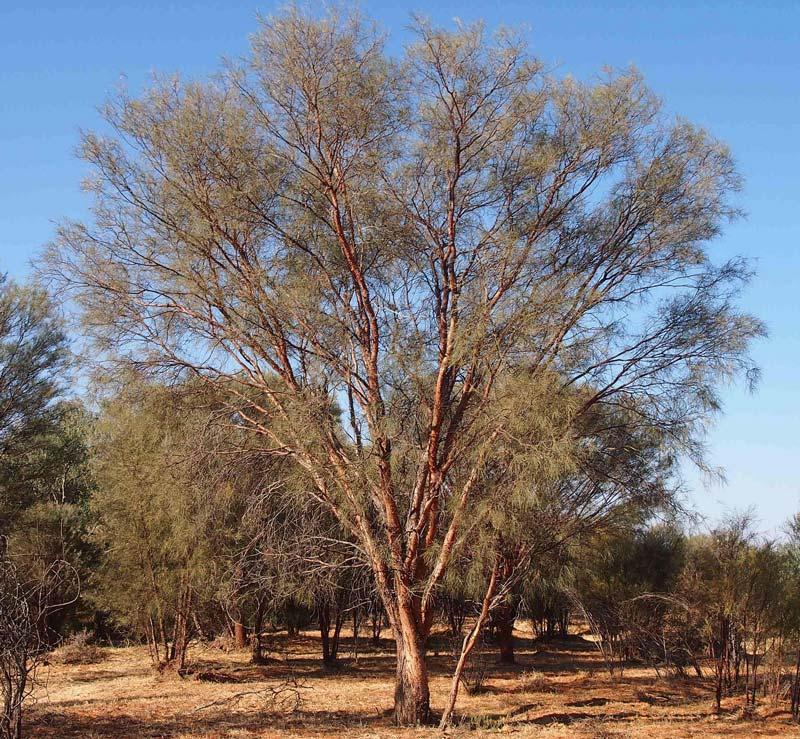 Acacia cyperofilla - photo Mark Marathon