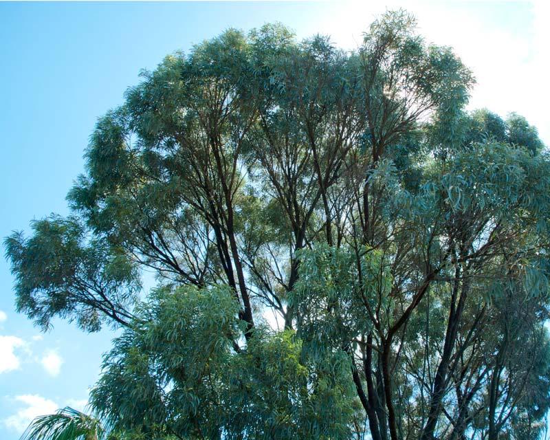 Acacia harpophyla