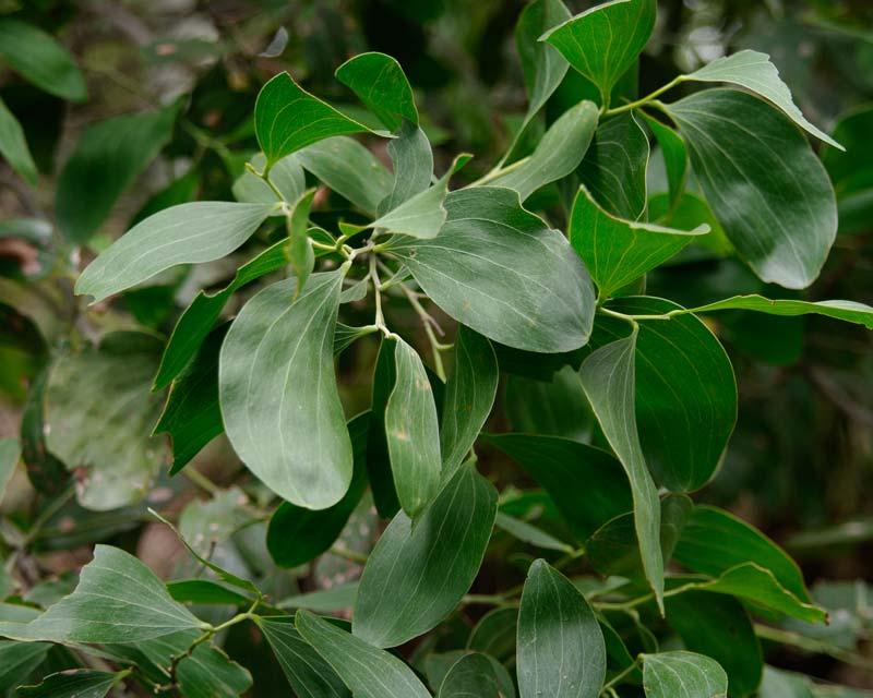 Acacia oraria, coastal wattle