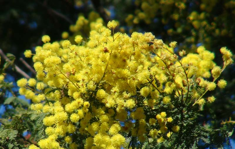 Acacia pubescens - Downy Wattle