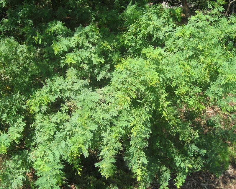 Acacia pubescens Downy Wattle