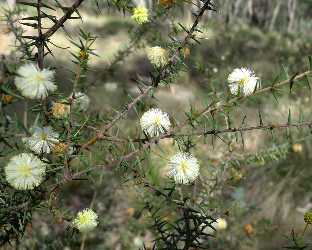 Acacia ulicifolia Prickly Moses has white to cream fluffy globular flowers