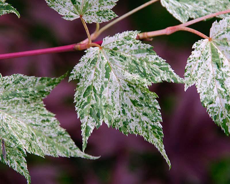 Acer conspicuum 'Silver Cardinal' foliage
