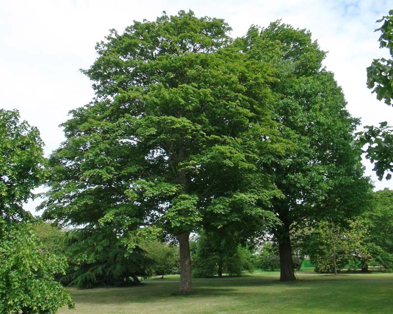 Acer pseudoplatanus, the Sycamore Maple as seen at Kew Gardens, London