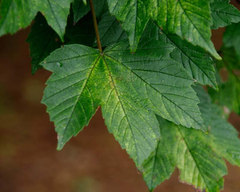 Acer pseudoplatanus Brilliantissimum