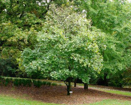 Acer Pseudoplatanus Gardensonline