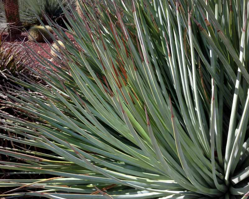 Agave striata ssp Falcata have pencil shaped leaves with a sharp browny red tip