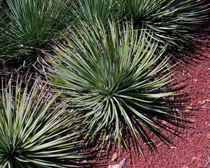 Agave striata subspecies falcata