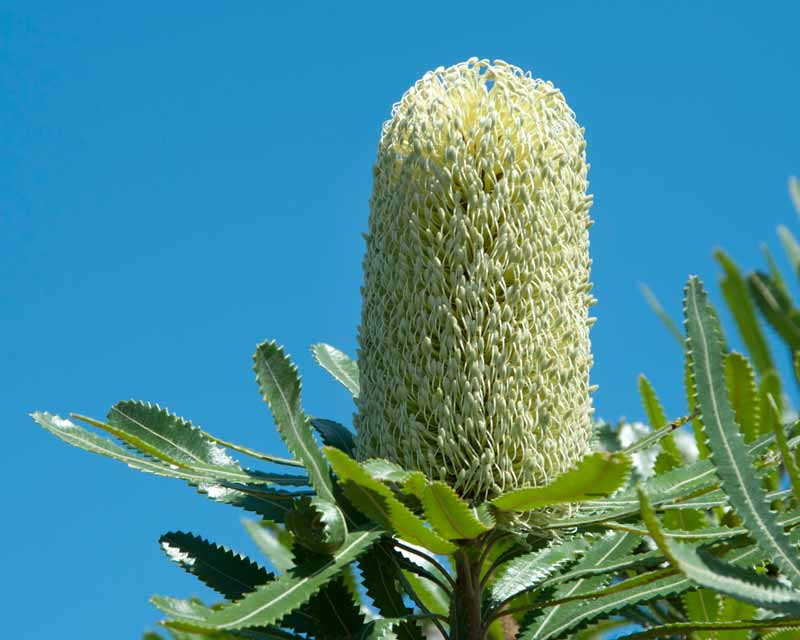 Banksia aemula commonly known as Wallum's Banksia has large lemon cones
