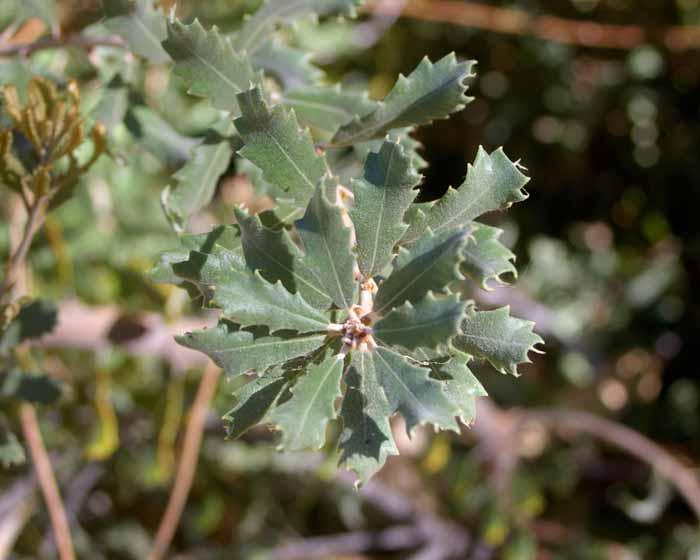 Banksia epica foliage