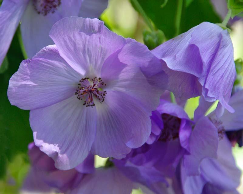 Abutilon x Suntense Geoffrey Gorer- has delicate open mauve flowers