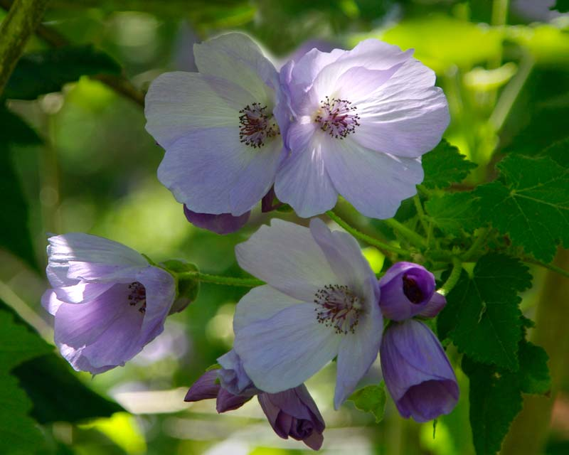 Abutilon  x Suntense - open pale mauve to white flowers