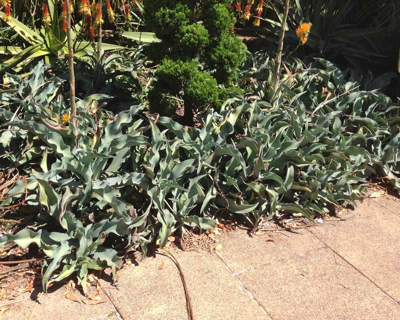 Agave gypsophila - better planted with more space between to show off foliage