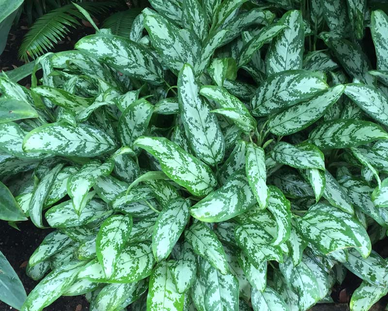 Aglaonema Nitidum Silver Queen  variegated green and white leaves