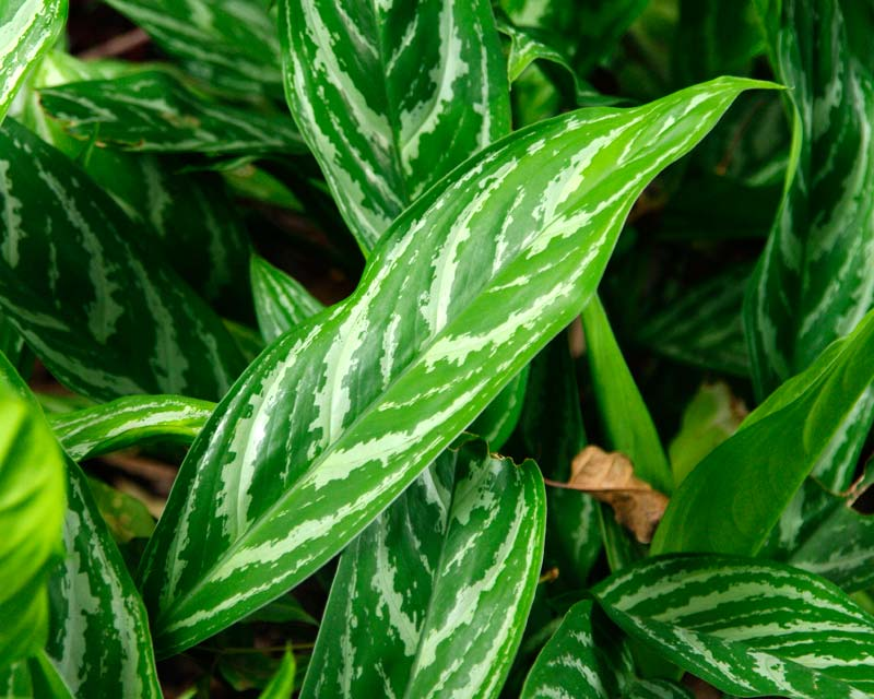 Aglaonema Nitidum Var Nitidum Curtisii - variegated green and white leaves