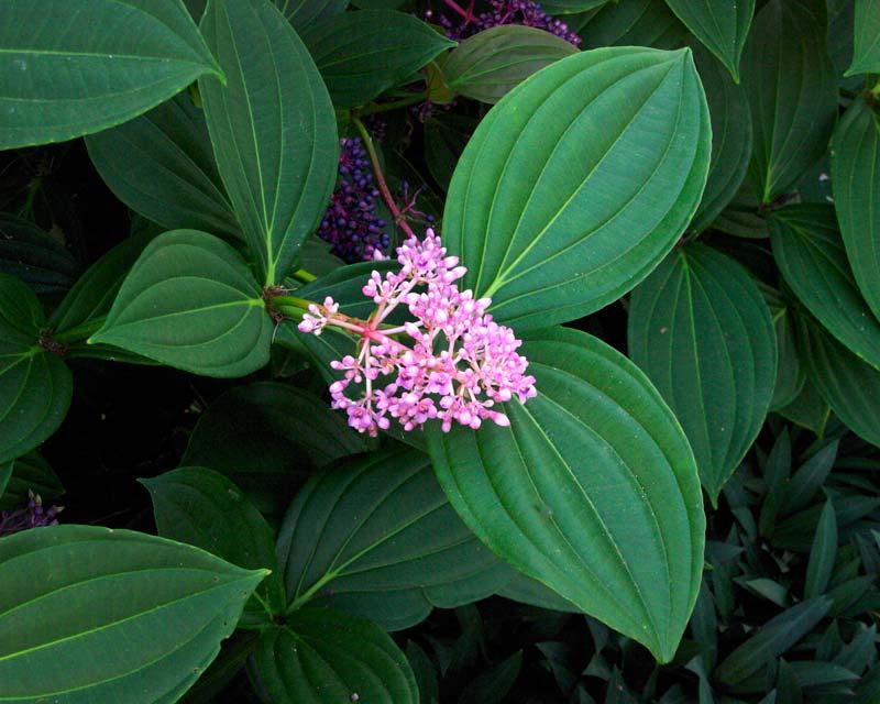 Medinilla pendula, lovely pink flowers