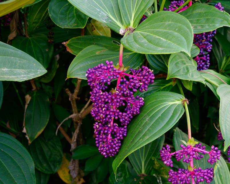 Medinilla pendula fruit